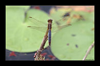 PhotoID: AusDr299. Black-Headed Skimmer (Crocothemis nigrifrons) - female