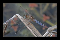 PhotoID: AusDr301. Black-Headed Skimmer (Crocothemis nigrifrons) - female