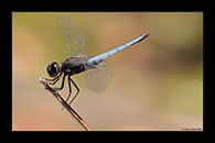 PhotoID: AusDr409. Black-Headed Skimmer (Crocothemis nigrifrons) - male