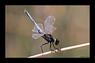PhotoID: AusDr461. Black-Headed Skimmer (Crocothemis nigrifrons) - male