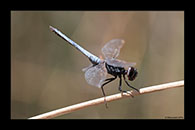 PhotoID: AusDr462. Black-Headed Skimmer (Crocothemis nigrifrons) - male