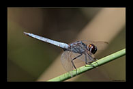 PhotoID: AusDr464. Black-Headed Skimmer (Crocothemis nigrifrons) - male