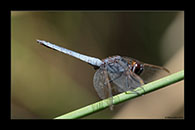 PhotoID: AusDr465. Black-Headed Skimmer (Crocothemis nigrifrons) - male